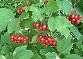 Viburnum berries, Slinfold - geograph.org.uk - 239009.jpg