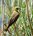 Village Weaver (Ploceus cucullatus) female collecting strips of leaf for its nest ... (33455755021).jpg