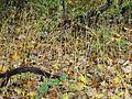 Vincetoxicum rossicum SCA-05091.jpg