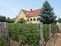 Vineyard. All Öreghegy neighborhood is a former bishop's estate. - Poprád road, Öreghegy, Székesfehérvár, Fejér county, Hungary.JPG