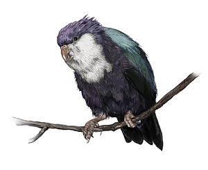 Fa'ahia - Subfossil remains of the extinct Conquered Lorikeet have been found at the site; the illustration shows a reconstruction of its appearance, with conjectural plumage colouration.