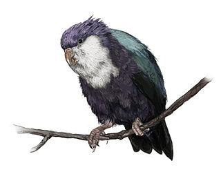 Conquered lorikeet species of bird