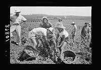 Vintage activities at Richon-le-Zion, Aug. 1939. Group of grape pickers LOC matpc.19761.jpg