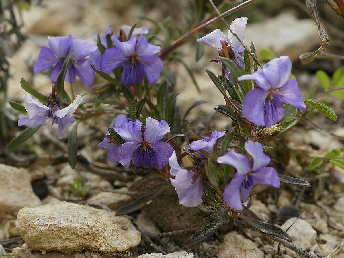 List Of Viola Species