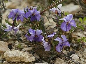 Viola arborescens