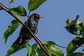 Violet cuckoo.jpg
