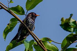 Violet cuckoo - Image: Violet cuckoo