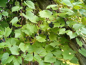 Vitis riparia - Image: Vitis riparia Habitus Leaves Fruits Bot Gard Bln 0906