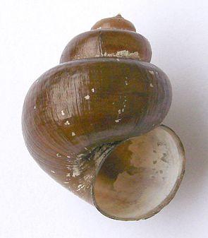 Spitze Sumpfdeckelschnecke (Viviparus contectus), Gehäuse