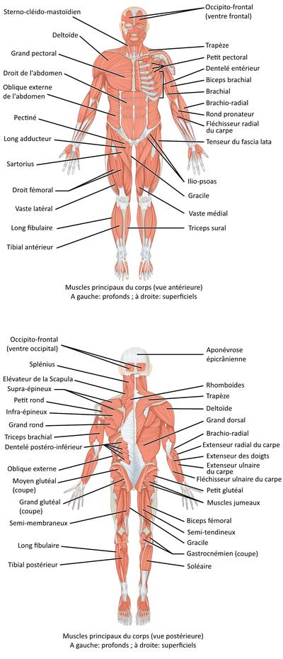 image des muscles du corps humain