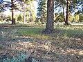 Vulpia octoflora (6244084306).jpg