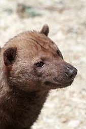Pictures Of A Bush Dog