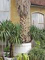 Washingtonia robusta0.jpg