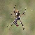 Wasp spider (Argiope bruennichi) ventral.jpg