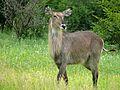 Waterbuck (Kobus ellipsiprymnus) (6041089803).jpg