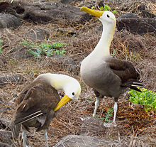 Waved Albatross pair.jpg