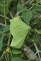 Weaver ant nest 6378.jpg