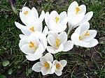 Weiße geöffete Krokusblüten.JPG