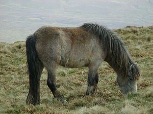 Welsh Pony and Cob - Traditional native Welsh-type pony in a natural setting; such ponies have lived in Wales for centuries