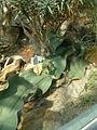 Welwitschia mirabilis (2944466196).jpg