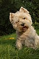 West Highland White Terrier.jpg