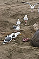 Western Gulls feeding on Elephant Seal afterbirth.jpg