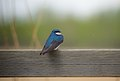 Wet Tree Swallow (14322377313).jpg