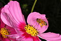 What am I, bee coming? Honey bee on Cosmos bipinnatus flower. (17082674066).jpg