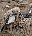White-backed Vulture (Gyps africanus) (32467673583).jpg