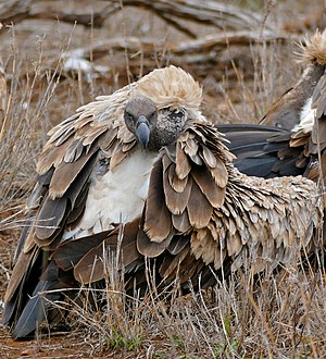White-backed vulture (Gyps africanus) in Kruger National Park, South Africa