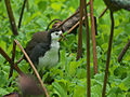 White-breasted Waterhen 5442.jpg