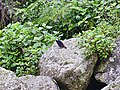White-capped Redstart-1, (Chaimarrornis leucocephalus), Kandbari village, Palampur, Himachal Pradesh, INDIA by Avyakta.jpg