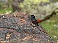 White-capped Redstart (Chaimarrornis leucocephalus) (28503194142).jpg