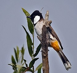 White-eared Bulbul (Pycnonotus leucotis) on a Khabbar tree (Salvadora oleoides) at Hodal Iws IMG 1181.jpg