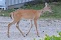 White-tailed Deer (Odocoileus virginianus) - Guelph, Ontario 04.jpg