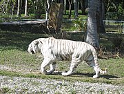 White tiger at the Miami Zoo