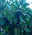 White Milkwood Tree Sideroxylon inerme - Fruits B.JPG
