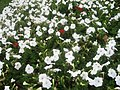 White and red flowers at Marble Arch 2.JPG