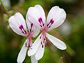 White desert flowers (14748188570).jpg