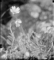 White flowered saxifrage? (68926).jpg