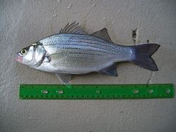 Whitebass march2010 01.jpg