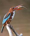 Whitethroated kingfisher.jpg