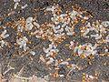 Wiki-lasius flavus larwy.jpg