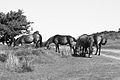 Wild Horses of Exmoor.jpg