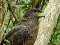 WilpattuNationalPark - February 2018 - Crested serpent eagle (1).jpg
