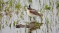 Wilson's phalarope on Seedskadee National Wildlife Refuge (34827956945).jpg