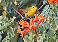 Wilson's warbler (15255314718).jpg