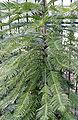 Wollemia nobilis.jpg