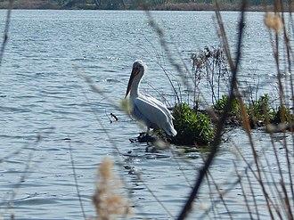 Lake Orestiada - Image: Wonterful pround pelekan