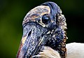 Wood Stork Closeup.jpg